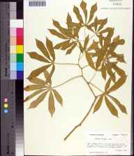 Manihot grahamii herbarium specimen from Alligator Point, Franklin County in 1984 by Prof. Loran C Anderson.