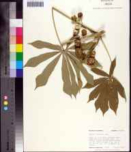 Manihot grahamii herbarium specimen from Havana, Gadsden County in 1983 by Robert K Godfrey.