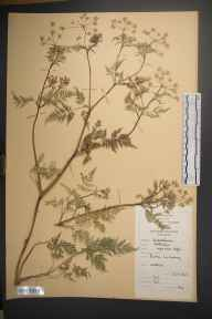 Anthriscus sylvestris herbarium specimen from Barna, VCH16 West Galway in 1965 by Michael Edward Mitchell.