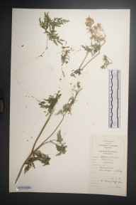 Anthriscus sylvestris herbarium specimen from Benbulbin, VCH28 Co. Sligo in 1981 by Dr Micheline Joan Sheehy Skeffington.