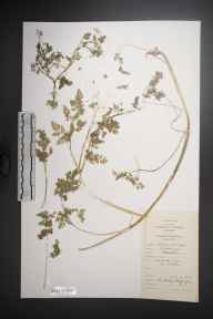 Anthriscus caucalis herbarium specimen from Irelands Eye, VCH21 Co. Dublin in 1979 by Dr Micheline Joan Sheehy Skeffington.