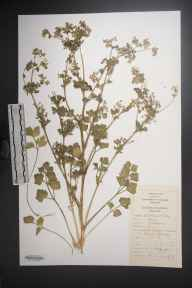 Apium graveolens herbarium specimen from Lough Atalia, VCH16 West Galway in 1984 by Dr Micheline Joan Sheehy Skeffington.