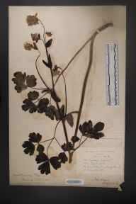 Aquilegia vulgaris herbarium specimen from Tullamore, VCH18 Offaly in 1895 by Mr Robert Lloyd Praeger.