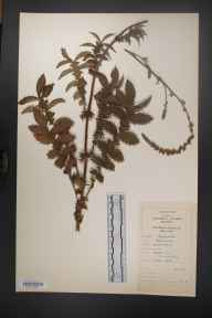 Agrimonia eupatoria herbarium specimen from Briar Hill, VCH17 North-east Galway in 1981.