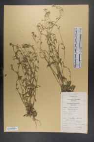Arabidopsis thaliana herbarium specimen from University College Galway, VCH16 West Galway in 1981 by Dr Micheline Joan Sheehy Skeffington.