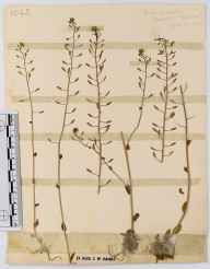 Draba muralis herbarium specimen from Clearwell, VC34 West Gloucestershire in 1921 by John Wilton Haines.
