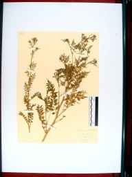 Cardamine impatiens herbarium specimen from Bristol, VC34 West Gloucestershire in 1844 by Dr  Wood.