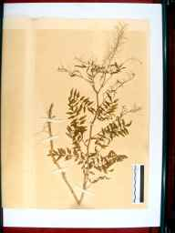 Cardamine impatiens herbarium specimen from Mitcheldean, VC34 West Gloucestershire in 1864 by Dr Gustavus A Ornano St Brody.