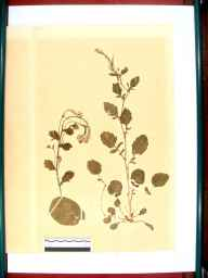 Barbarea vulgaris herbarium specimen from Gloucester, VC33 East Gloucestershire in 1864 by Dr Gustavus A Ornano St Brody.