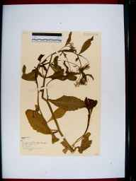 Rorippa amphibia herbarium specimen from Coombe Hill, VC33 East Gloucestershire in 1955 by Dorothy Ellis de Vesian.