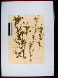 Viola arvensis herbarium specimen from Chatcombe Wood, VC33 East Gloucestershire in 1912.