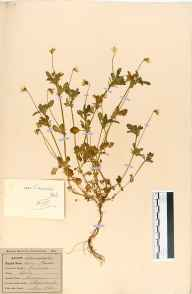 Viola arvensis herbarium specimen from Sheepscombe, VC33 East Gloucestershire in 1864.