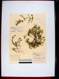 Polygala serpyllifolia herbarium specimen from Forest of Dean, VC34 West Gloucestershire in 1910 by Edward Metcalfe Day.