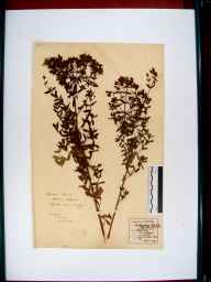 Hypericum perforatum herbarium specimen from Sandhurst, VC33 East Gloucestershire in 1857 by Frederick E Sessions.
