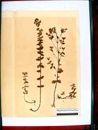 Hypericum maculatum herbarium specimen from Gloucester, VC33 East Gloucestershire in 1864 by Dr Gustavus A Ornano St Brody.
