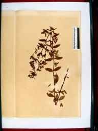 Hypericum hirsutum herbarium specimen from Over, VC34 West Gloucestershire in 1864 by Dr Gustavus A Ornano St Brody.