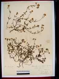 Helianthemum chamaecistus herbarium specimen from Wynch Bridge, VC66 County Durham in 1898.