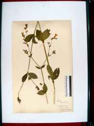 Silene dioica herbarium specimen from Stroud, VC33 East Gloucestershire in 1914 by Edward Metcalfe Day.