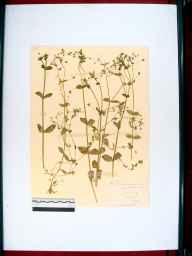 Stellaria neglecta herbarium specimen from Awre, VC34 West Gloucestershire in 1910 by Edward Metcalfe Day.