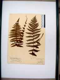 Oreopteris limbosperma herbarium specimen from Penyard Park, VC36 Herefordshire in 1852 by Rev. William Henry Purchas.