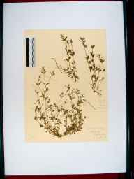 Moehringia trinervia herbarium specimen from Tidenham, VC34 West Gloucestershire in 1911 by Rev. Walter Butt.