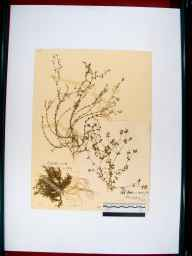 Arenaria serpyllifolia herbarium specimen from Kempsford, VC33 East Gloucestershire in 1909 by Rev. Walter Butt.