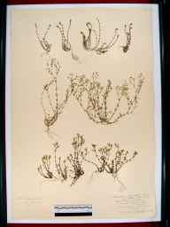 Arenaria serpyllifolia herbarium specimen from Hewlett's Hill, VC33 East Gloucestershire in 1917 by Mr Archibald Sim Montgomrey.