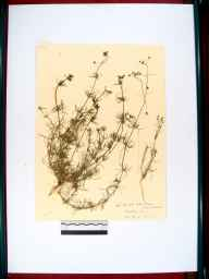 Spergula arvensis herbarium specimen from Beachley, VC34 West Gloucestershire in 1910 by Rev. Walter Butt.