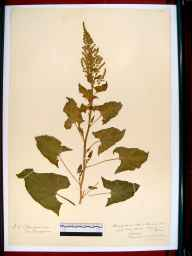 Chenopodium bonus-henricus herbarium specimen from Chedworth, VC33 East Gloucestershire in 1919 by Edward Metcalfe Day.