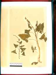 Chenopodium bonus-henricus herbarium specimen from Beachley, VC34 West Gloucestershire in 1864 by Dr Gustavus A Ornano St Brody.