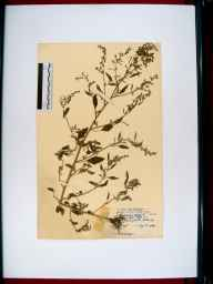 Chenopodium album herbarium specimen from Down Hatherley, VC33 East Gloucestershire in 1949 by Mr Thomas Archibald Sprague.