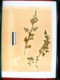 Chenopodium urbicum herbarium specimen from Gloucester, VC33 East Gloucestershire in 1864 by Dr Gustavus A Ornano St Brody.