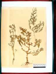 Chenopodium glaucum herbarium specimen from Gloucester, VC33 East Gloucestershire in 1864 by Dr Gustavus A Ornano St Brody.