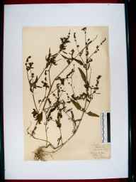 Atriplex patula herbarium specimen from Brimscombe, Gloucestershire in 1919 by Edward Metcalfe Day.