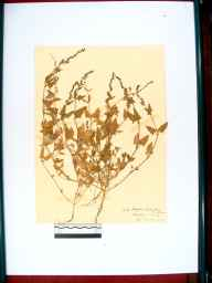 Atriplex glabriuscula herbarium specimen from Beachley, VC34 West Gloucestershire in 1910 by Rev. Walter Butt.