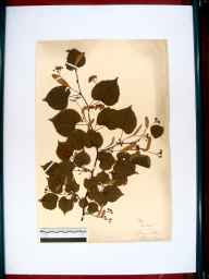 Tilia cordata herbarium specimen from Lydney, VC34 West Gloucestershire in 1912 by Edward Metcalfe Day.