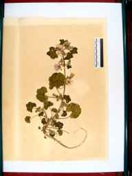 Malva sylvestris herbarium specimen from Over, VC34 West Gloucestershire in 1864 by Dr Gustavus A Ornano St Brody.