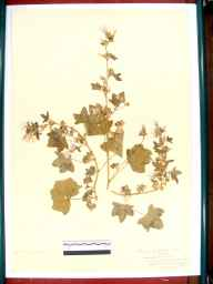 Malva sylvestris herbarium specimen from Coombe Hill, VC33 East Gloucestershire in 1917 by Mr Archibald Sim Montgomrey.