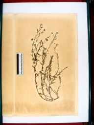 Linum usitatissimum herbarium specimen from Gloucester and Berkeley Canal, VC34 West Gloucestershire in 1866 by Dr Gustavus A Ornano St Brody.