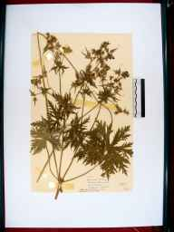 Geranium pratense herbarium specimen from The Cotswolds, VC34 West Gloucestershire in 1952 by Dorothy Ellis de Vesian.