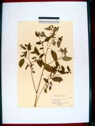 Impatiens biflora herbarium specimen from Stonehouse, VC33 East Gloucestershire in 1952.