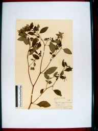 Impatiens biflora herbarium specimen from Stonehouse, VC33 East Gloucestershire in 1952 by Dorothy Ellis de Vesian.