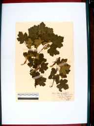 Acer campestre var. leiocarpum herbarium specimen from Guiting Wood, VC33 East Gloucestershire in 1909 by Rev. Harry Joseph Riddelsdell.