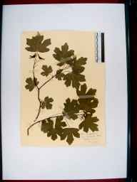 Acer campestre herbarium specimen from Tutshill, VC34 West Gloucestershire in 1910.