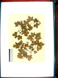 Acer campestre herbarium specimen from Tidenham, VC34 West Gloucestershire in 1912 by Rev. Walter Butt.