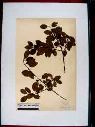 Frangula alnus herbarium specimen from Lydbrook, VC34 West Gloucestershire in 1912 by Edward Metcalfe Day.