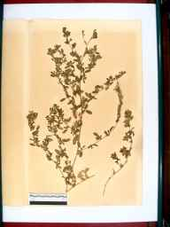 Ononis repens herbarium specimen from Birdlip Hill, VC33 East Gloucestershire in 1864 by Dr Gustavus A Ornano St Brody.