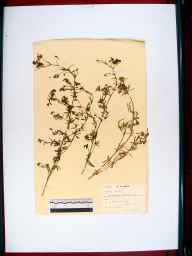 Medicago sativa subsp. falcata herbarium specimen from Sharpness, VC34 West Gloucestershire in 1945 by Rev R B Abell.