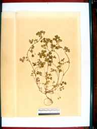Medicago lupulina herbarium specimen from Gloucester, VC33 East Gloucestershire in 1864 by Dr Gustavus A Ornano St Brody.