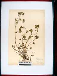 Medicago arabica herbarium specimen from Stroud, Gloucestershire in 1916 by Edward Metcalfe Day.